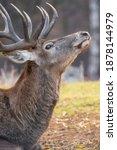 Portrait Of The Red Deer ...
