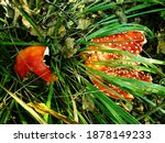 Two Red Amanita Muscaria...
