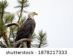 A Majestic Bald Eagle Is...