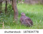 Small photo of female Hazel Grouse, Bonasia bonasia
