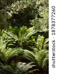 Small photo of Tasmanian tree Ferns, known as the Soft Tree Fern, Man Fern or Tasmanian Tree Fern, growing in forest in northern Tasmania