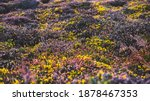 Yellow Gorse And Heather...
