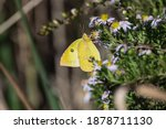 Male Clouded Sulphur Butterfly...