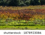 Rows Of Grape Trees With Red...