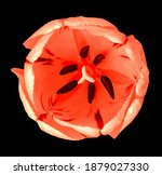 red tulip flower macro isolated ... | Shutterstock . vector #1879027330