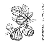 fig illustration. hand drawn... | Shutterstock .eps vector #1879134760