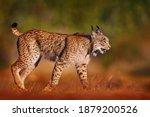Iberian Lynx  Lynx Pardinus ...