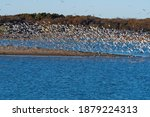 A Large Flock Of Laughing Gulls ...