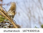 Eastern Grey Squirrel With Nuts ...