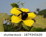 A Black Insect 'xylocopa...