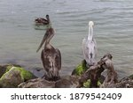 Two Brown Pelicans Standing On...