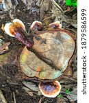 Wood Fungus That Grows On Dead...
