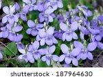 Viola Reichenbachiana1