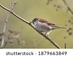 House Sparrow Perched On A Twig ...
