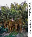 Many Bamboo Are In The Garden ...