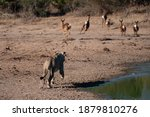 A Female Lion Chasing A Herd Of ...