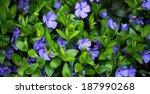 periwinkle  vinca minor  plant...   Shutterstock . vector #187990268