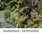 Close Up Of Bottle Brush Grass...