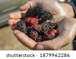 A Group Of Mulberry Fruits With ...