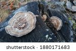 Most Polypores Are Edible Or At ...