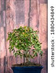 Composition Of A Chinese Elm...