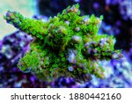 Acropora Microclados Species Of ...