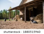 On The Ranch Goats Graze In The ...