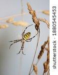 Argiope Bruennichi. Wasp Spider....