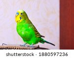 A green budgie sits at the top of the cage. Close-up photo. Free keeping in the house of a tropical bird pet.