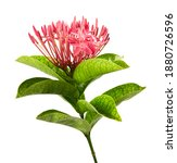 Ixora Coccinea Flower  Pink...