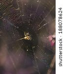 Small photo of Acalypha Mangora spider and spider web backlit