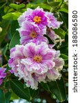close up of lagerstroemia... | Shutterstock . vector #188086580