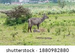 A Waterbuck With Her Young Fawn....