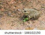 common brown thai frog in farm  ... | Shutterstock . vector #188102150