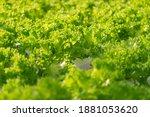 fresh organic green oak lettuce ... | Shutterstock . vector #1881053620