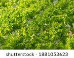 fresh organic green oak lettuce ... | Shutterstock . vector #1881053623