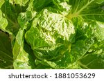 fresh organic green oak lettuce ... | Shutterstock . vector #1881053629