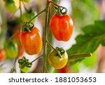 fresh lot of tomato hanging ... | Shutterstock . vector #1881053653