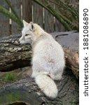 Sitting Corsac Fox Shows His...