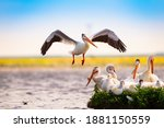 Flock Of White Pelicans Resting ...