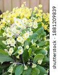 Primrose Flowers Closeup In A...