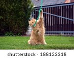 Funny Big Ginger Cat Playing...