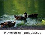 Three Content Ducks Grooming...