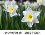 White Daffodil Spring Blossom...