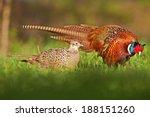 Male And Female Pheasant  ...