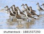 Flock Of Semipalmed Sandpiper ...