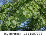 Linden Leaves In The Spring