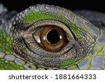 Green Iguana Closeup Eyes  Eyes ...