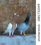 Couple Domestic Pigeons  One Of ...