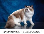 Ragdoll Colourpoint Cat With...